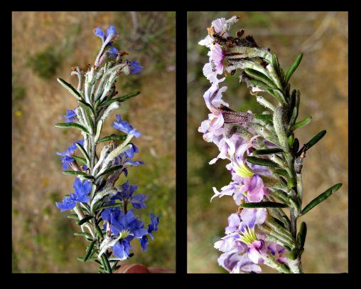Dampiera rosmarinifolia (Credit: G Carle)