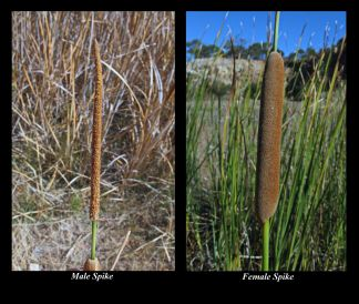 Typha domingensis (Credit: G & A Carle)