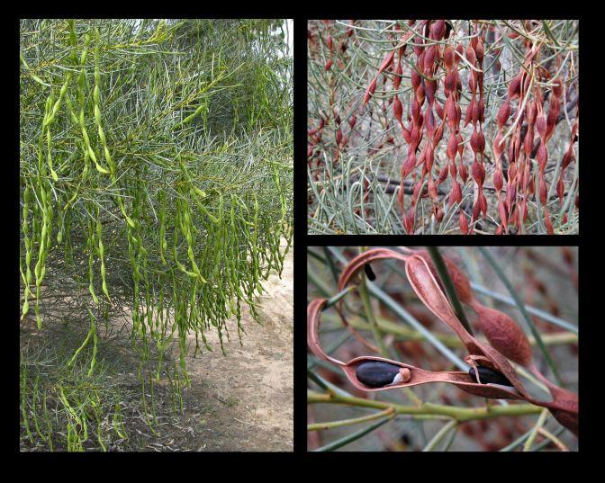 Acacia euthycarpa ssp. euthycarpa (Credit: G & A Carle)