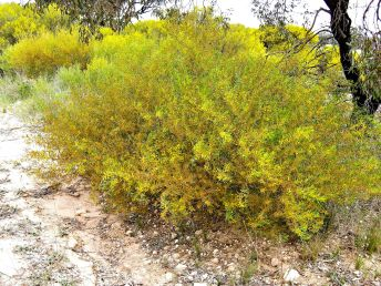 Acacia montana (Credit: A Carle)