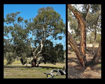 Eucalyptus leucoxylon ssp. stephaniae (Credit: G Carle)
