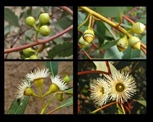 Eucalyptus leucoxylon ssp. stephaniae (Credit: A Carle)