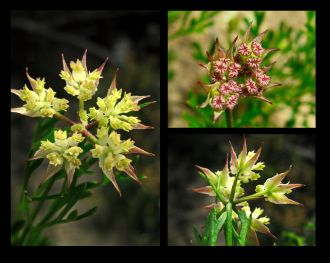 Xanthosia leiophylla (Credit: G Carle)