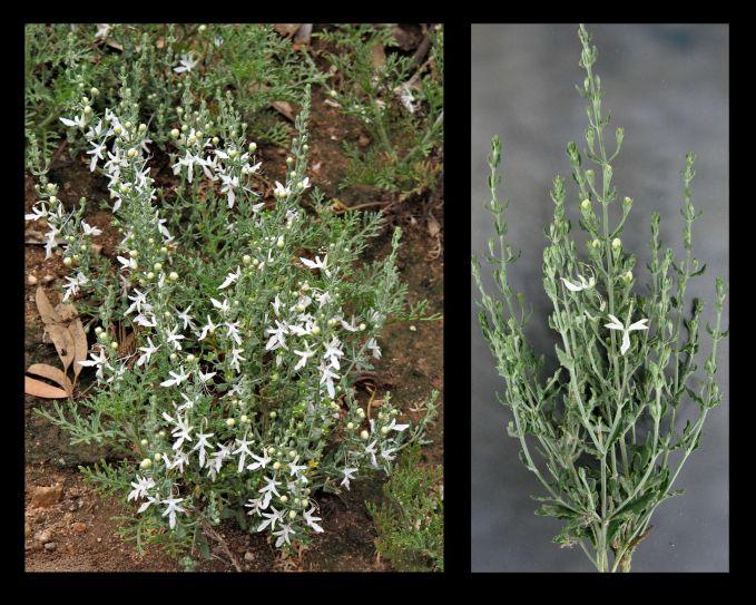Teucrium racemosum (Credit: G & A Carle)