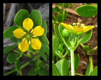 Zygophyllum apiculatum (Credit: G & A Carle)