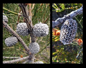 Allocasuarina mackliniana ssp. xerophila (Credit: G & A Carle)