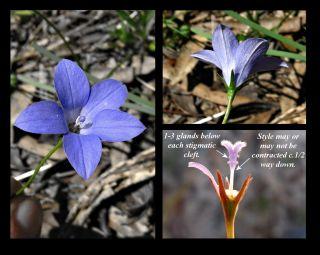 Wahlenbergia graniticola (Credit: A Carle)