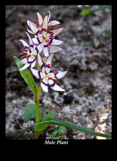Wurmbea dioica ssp. brevifolia (Credit: G Carle)