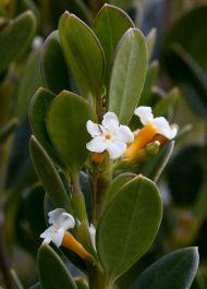 Alyxia buxifolia