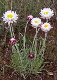 Leucochrysum albicans