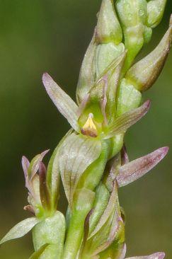 Prasophyllum crebriflorum (Credit: M Wells)