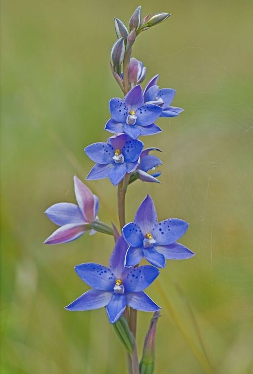 Thelymitra ixioides (Credit: M Wells)