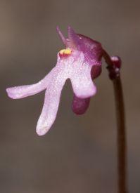 Utricularia tenella
